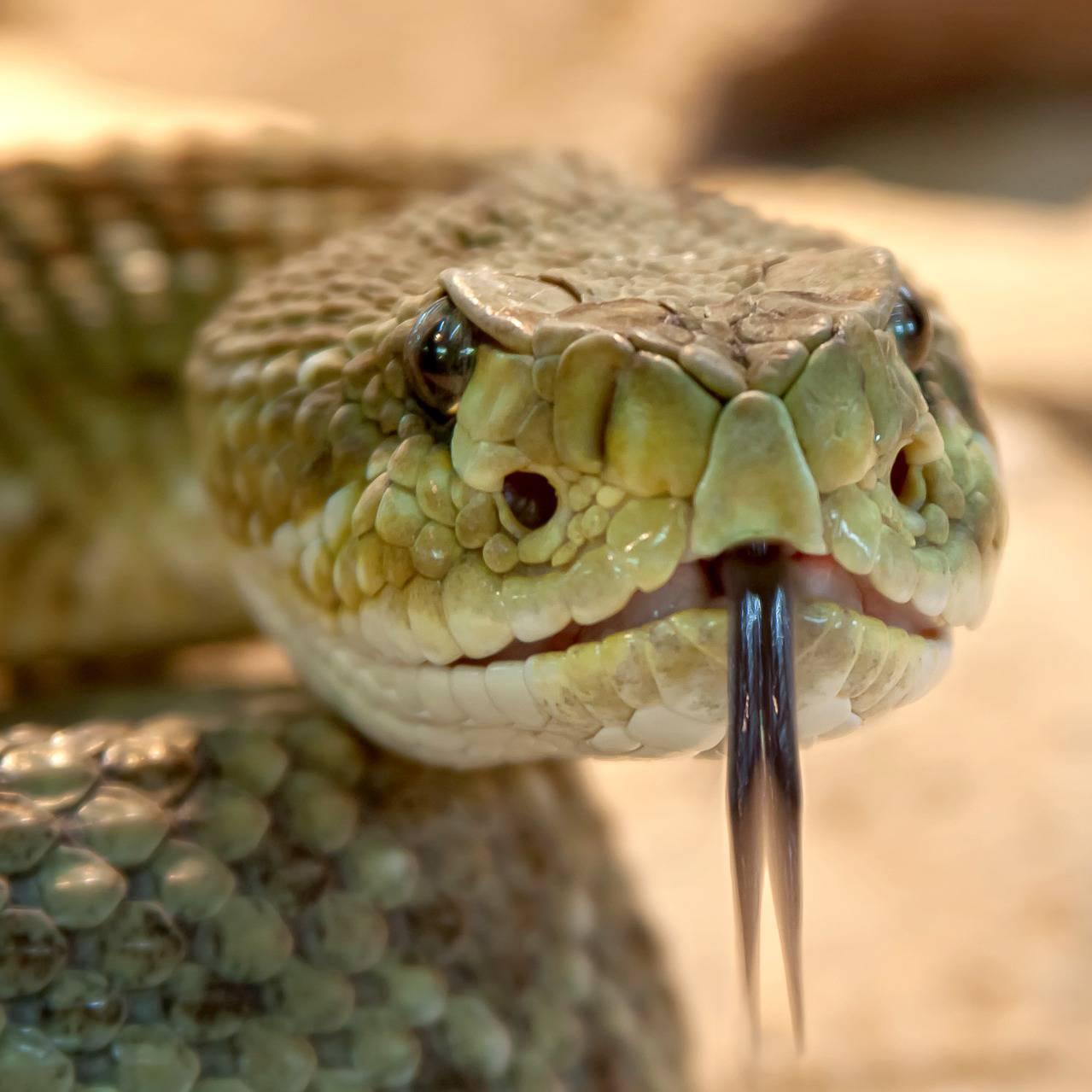 Prince-Serpent