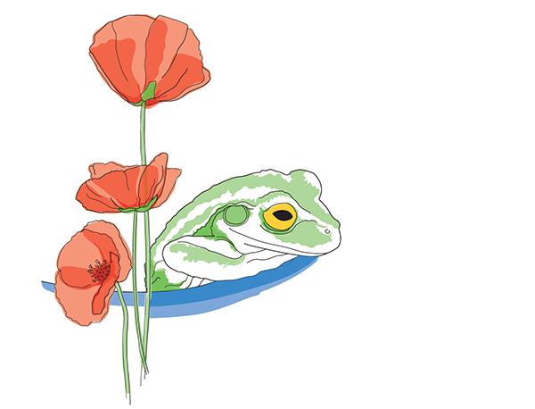 Illustration grenouille et coquelicots