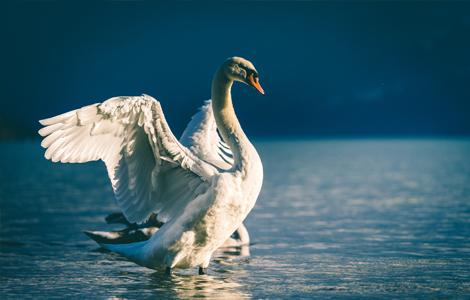Cygne sur l'eau qui déploie ses ailes.
