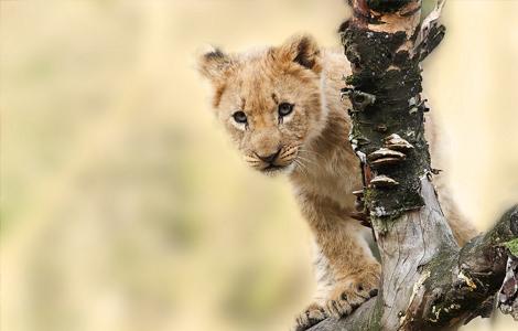 Lionceau derrière une branche